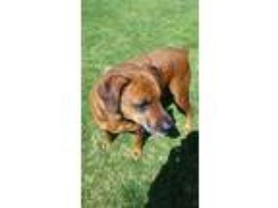 Adopt Lil Man a Brown/Chocolate Boxer / Doberman Pinscher / Mixed dog in