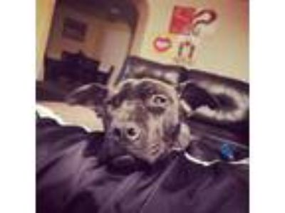 Adopt CeeCee a Black American Pit Bull Terrier / Mixed dog in San Antonio