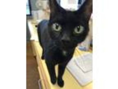 Adopt Jane a All Black Domestic Shorthair (short coat) cat in Lake Charles