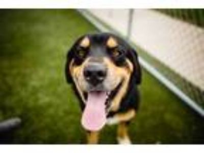 Adopt LEO a Black - with Tan, Yellow or Fawn Rottweiler / German Shepherd Dog /