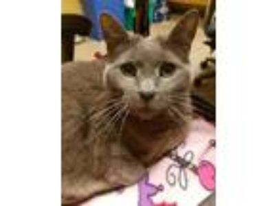 Adopt Addie a Domestic Shorthair / Mixed (short coat) cat in Cincinnati
