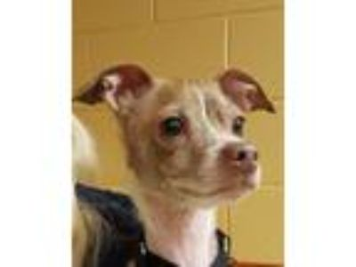 Adopt Sticks a Tan/Yellow/Fawn - with White Italian Greyhound / Mixed dog in