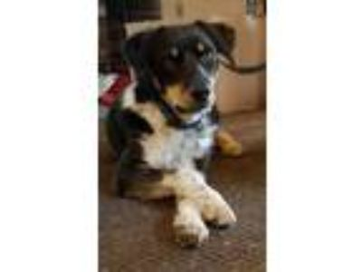 Adopt LINUS a Border Collie, Mixed Breed
