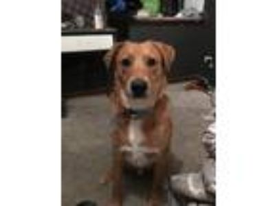 Adopt Cooper a Tan/Yellow/Fawn - with White Collie / Shepherd (Unknown Type) dog