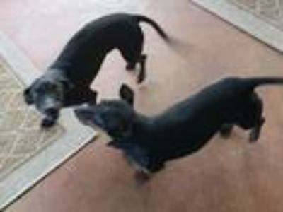 Adopt Oscar and Mayer a Black Dachshund / Boston Terrier / Mixed dog in Navarre