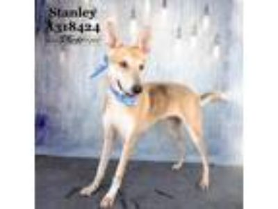 Adopt STANLEY a Tan/Yellow/Fawn - with Black German Shepherd Dog / Mixed dog in