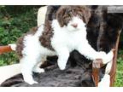 Portuguese Water Dog Puppies