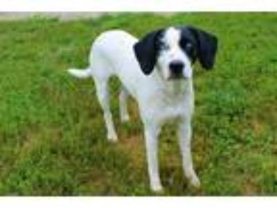 Adopt GHOUL a White - with Black Foxhound / Mixed dog in Louisville