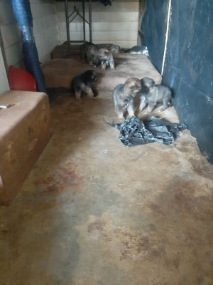 1 LEFT! German shepherd malamute puppies