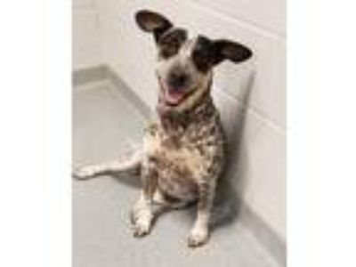Adopt Miley a Tricolor (Tan/Brown & Black & White) Cattle Dog / Mixed dog in