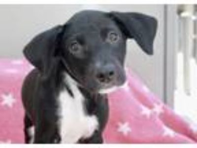 Adopt Twyla a Black - with White Labrador Retriever / Mixed dog in Los Angeles