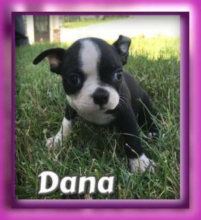 Dana Female AKC Boston Terrier