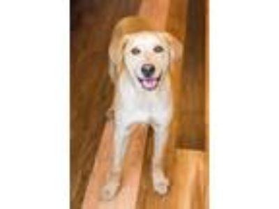 Adopt Tulip a Labrador Retriever / Hound (Unknown Type) / Mixed dog in