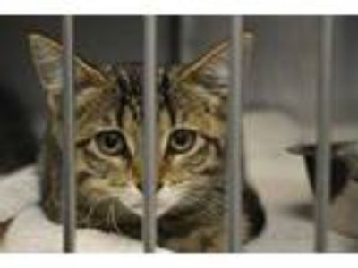 Adopt KD a Brown Tabby Domestic Shorthair / Mixed (short coat) cat in Decatur
