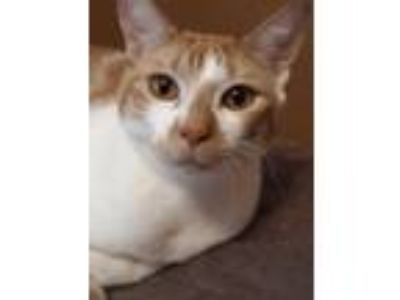 Adopt Prince Harry a Tabby, Domestic Short Hair