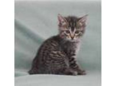 Adopt Finland a Brown or Chocolate Domestic Shorthair / Domestic Shorthair /