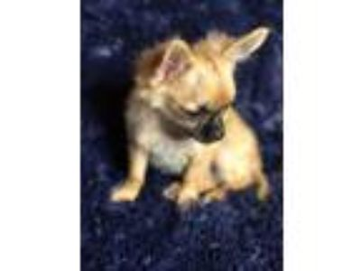 STUNNING AKC Registered Male Longhair Chihuahuas