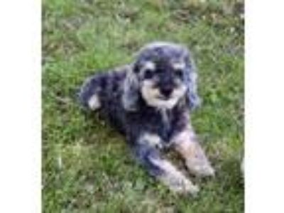 Adopt Rocky a Poodle, Yorkshire Terrier