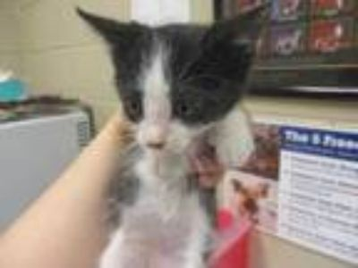 Adopt Kittie a All Black Domestic Shorthair / Domestic Shorthair / Mixed cat in