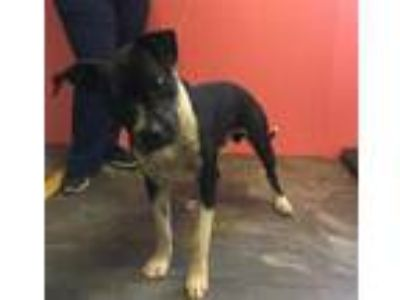Adopt LANE DUDLEY a Pit Bull Terrier, Mixed Breed