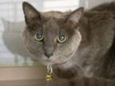 Adopt CHARLEMAGNE a Domestic Short Hair