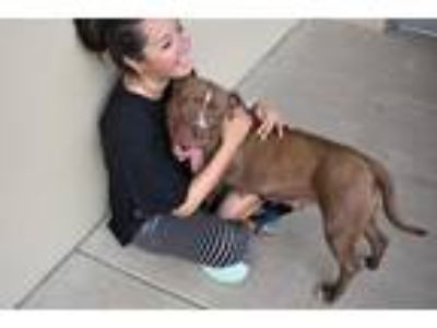 Adopt Claudia a Red/Golden/Orange/Chestnut - with White Staffordshire Bull