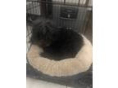 Adopt Bentley a Black Spitz (Unknown Type, Small) / Mixed dog in Oklahoma City