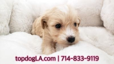 Poodle (Standard)-Maltese Mix PUPPY FOR SALE ADN-71155 - Maltipoo Male Buff