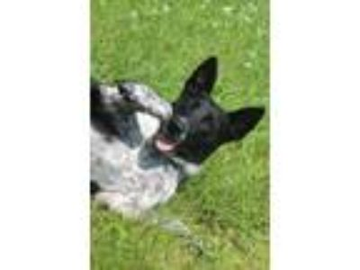 Adopt Cece a Cattle Dog, Mixed Breed