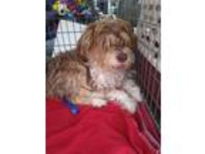 Adopt Amy a Brown/Chocolate - with White Terrier (Unknown Type