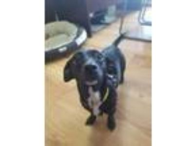 Adopt Sheba ~Pending~ a Black - with White Dachshund / Mixed dog in Okeechobee