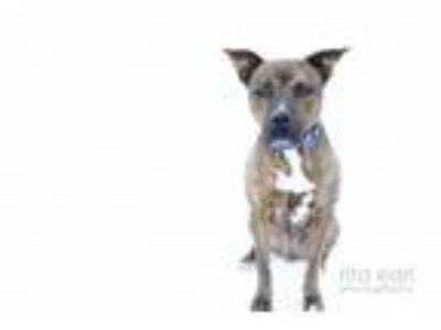 Adopt Checkers a Brindle Pit Bull Terrier / Mixed dog in Santa Monica