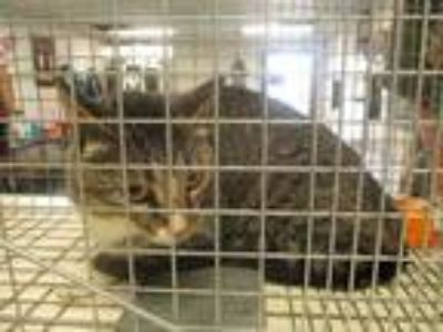 Adopt Feral Gaia a Brown or Chocolate Domestic Shorthair / Domestic Shorthair /