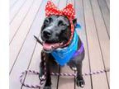 Adopt Cornelia a Pit Bull Terrier, Mixed Breed