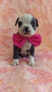Boston Terrier PUPPY FOR SALE ADN-87439 - AKC Boston Terrier Blue