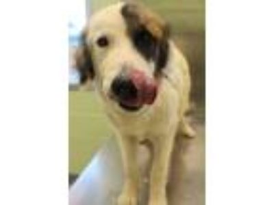 Adopt Sonny a Great Pyrenees, Border Collie