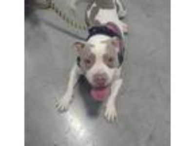 Adopt Danika a White - with Brown or Chocolate Pit Bull Terrier / Mixed dog in