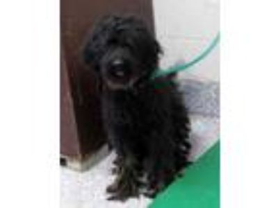 Adopt Blue Lilac a Black Poodle (Standard) / Mixed dog in Pickens, SC (25286140)