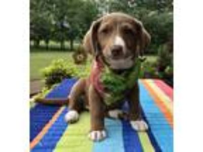 Adopt Supergirl a Brown/Chocolate Jack Russell Terrier / Labrador Retriever /