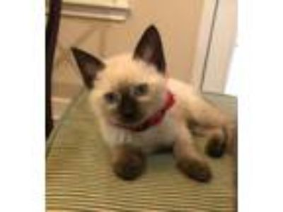 Adopt Rosalie-kitty a Cream or Ivory (Mostly) Siamese / Mixed (short coat) cat