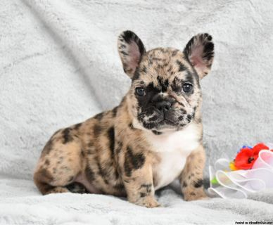 Adorable French Bulldog Puppies Availabe And Await New Families