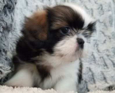 Shih Tzu PUPPY FOR SALE ADN-89495 - Beautiful shih tzu babies for you to love