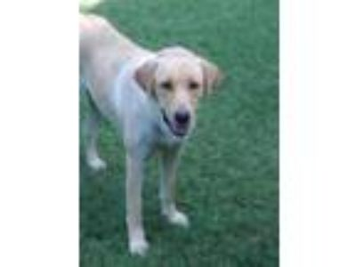 Adopt Lab Family in need of foster home so we can save! a Labrador Retriever /