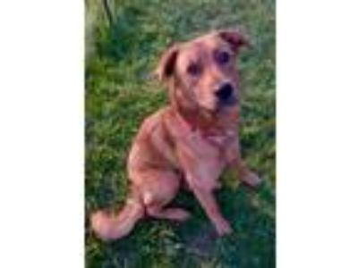 Adopt Lourde a Red/Golden/Orange/Chestnut Labrador Retriever / Retriever
