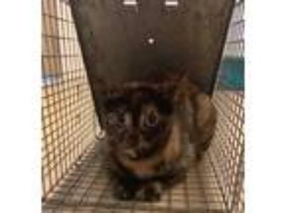 Adopt 41979711 a All Black Domestic Shorthair / Domestic Shorthair / Mixed cat