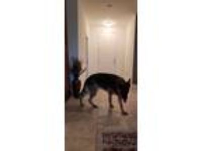 Adopt Cab a Black - with Tan, Yellow or Fawn German Shepherd Dog / Mixed dog in