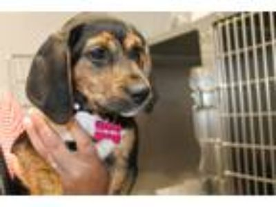 Adopt Dorothy a Tricolor (Tan/Brown & Black & White) Hound (Unknown Type) /