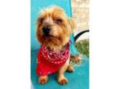 Adopt Frisco a Yorkshire Terrier