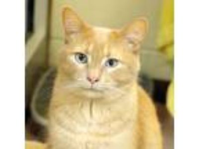 Adopt Munsch a Tan or Fawn Domestic Shorthair / Domestic Shorthair / Mixed cat
