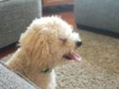 Adopt Lucas a Tan/Yellow/Fawn - with White Poodle (Toy or Tea Cup) dog in